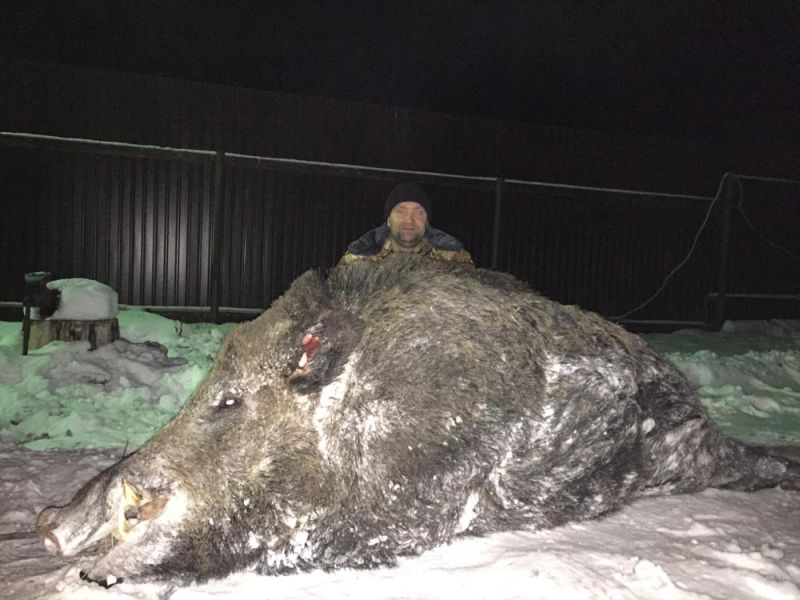 85+ Gambar Babi Hutan Mati Tertembak Paling Hist