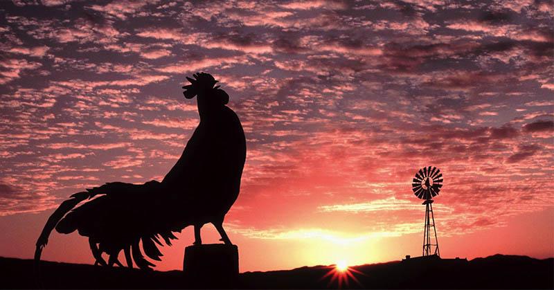 Mengapa Ayam Selalu Berkokok di Pagi Hari?