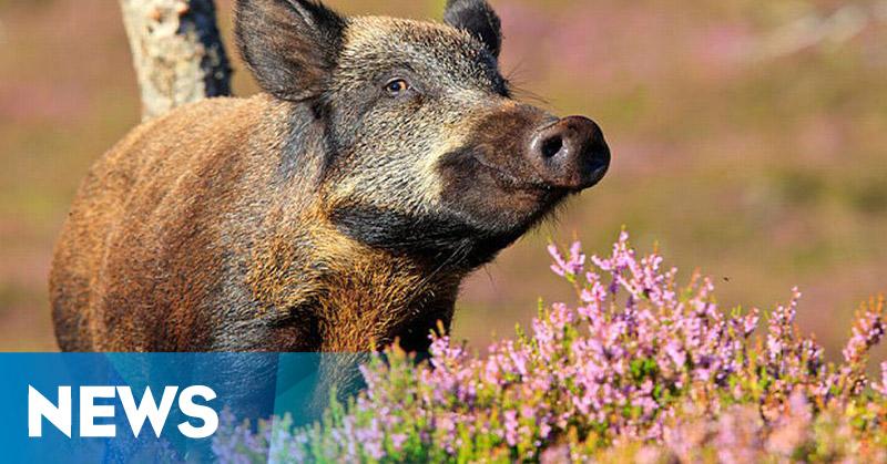 Ratusan Babi Ilegal Dimusnahkan Bersama Kandangnya
