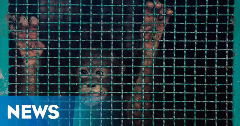 Penyelundupan Enam Orangutan Asal Kalimantan Digagalkan