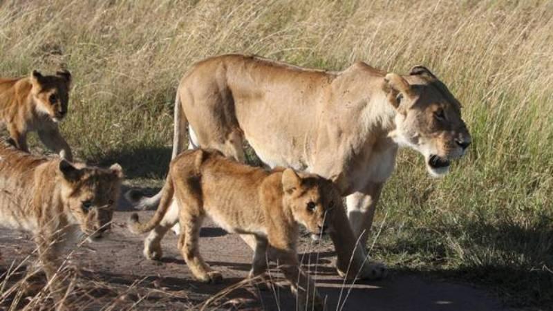 https: img.okezone.com content 2016 02 19 18 1316545 enam-singa-di-kenya-kabur-ke-kawasan-perumahan-Fzv66eayRP.jpg