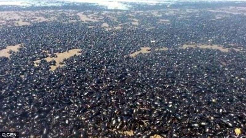Jutaan kumbang di pantai wisata Mar de Ajo, Argentina. (Foto: CEN)