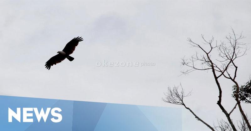 7300 Koleksi Gambar Burung Elang Dan Jenisnya Gratis Terbaik