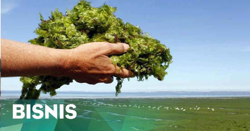 https: img.okezone.com content 2016 04 28 320 1375305 peran-rumput-laut-di-industri-pangan-masih-minim-TRysXgkmQy.jpg