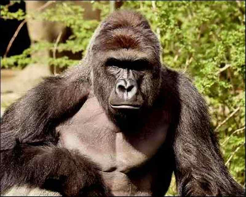 Harembe gorila di kebun binatang Cincinnati ditembak karena dianggap membahayakan nyawa seorang bocah yang masuk ke kandangnya. (Foto: Reuters)
