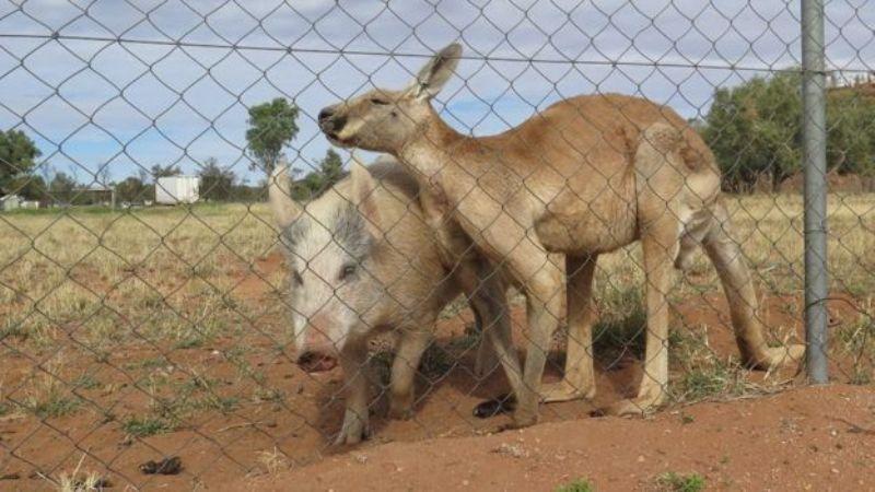 Kisah cinta seekor kanguru dengan seekor babi (Foto: Ryan Frazer/BBC)