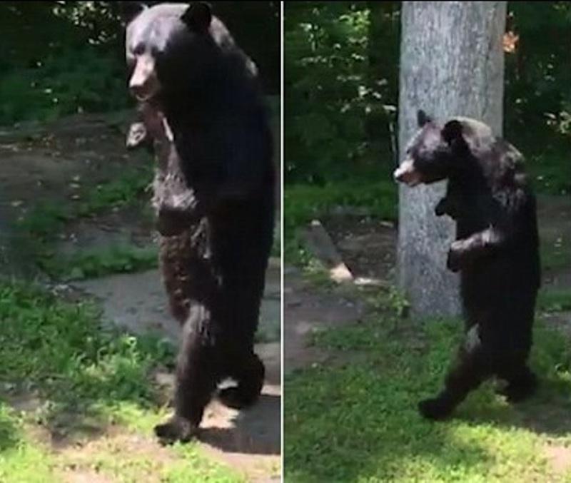 Beruang berjalan dengan dua kaki seperti manusia. (Foto: Daily Mail)
