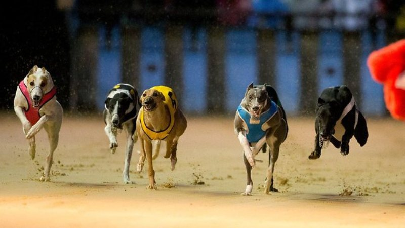 Arena pacuan anjing (Foto: Horseracingkills)