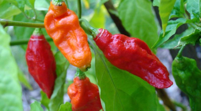 Bhut Jolokia atau ghost peppers salah satu cabai terpedas di dunia. (Foto: Wikipedia)