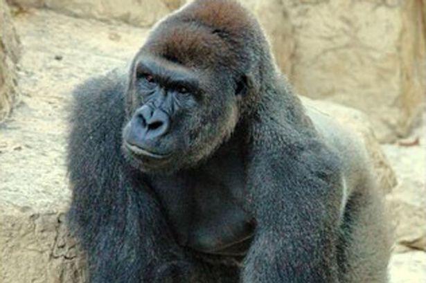 Wajah Gorila Harambe