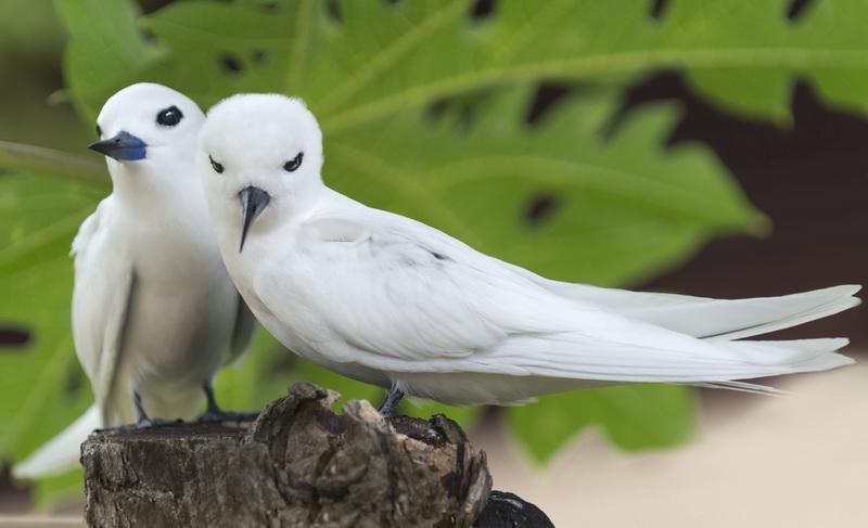 Burung ini berhabitat di pegunungan dengan ketinggian 900-1.270 meter di atas permukaan laut (mdpl).