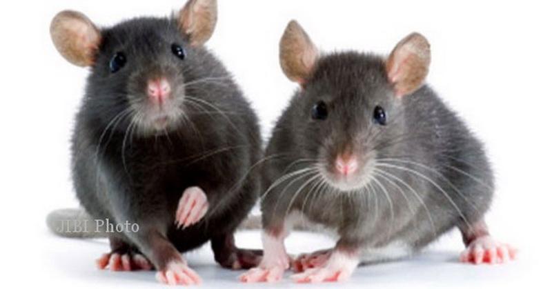 Tikus Bernyanyi saat Mencari Pasangan