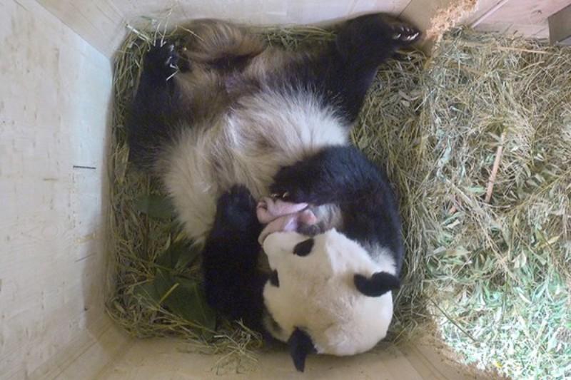 Bayi panda kembar di Austria (Foto: Vienna Zoo)