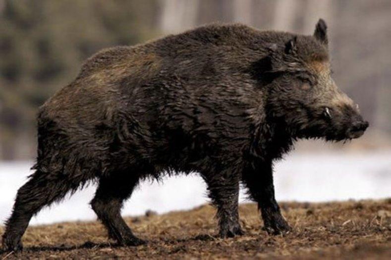https: img.okezone.com content 2016 10 31 512 1528973 satu-tewas-dan-dua-warga-luka-disruduk-babi-hutan-di-wonosobo-UHIHhKZMrb.jpg