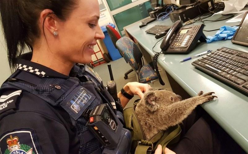 Seorang petugas polisi bermain dengan bayi koala yang ditemukan di dalam tas (Foto: Queensland Police/AFP)