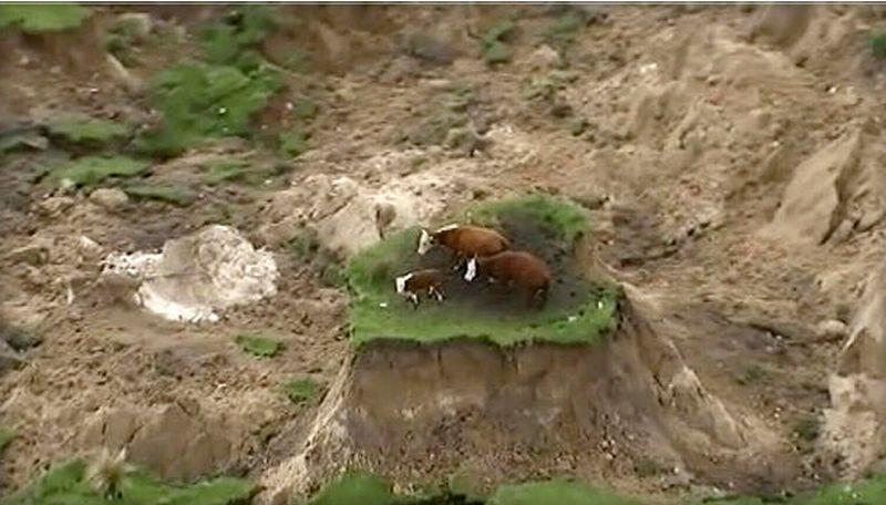 Tiga ekor sapi terdampar di pulau dadakan yang tercipta akibat gempa 7,8 SR mengguncang Selandia Baru. (Foto: Newshub/AP/CBS)