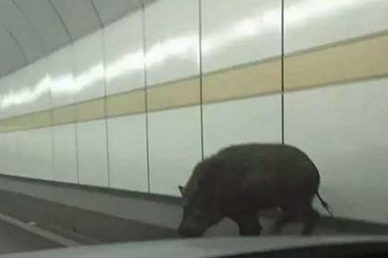 Foto babi hutan tersebut usai menabrak mobil mewah milik sang pengemudi di China (Foto: 163.com)