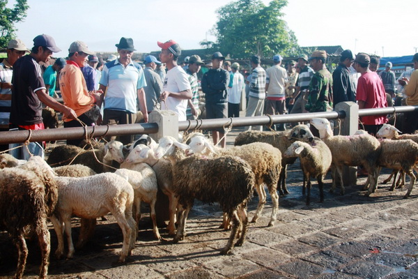 pedagang tak keberatan lokasi pasar hewan dipindah (Foto: KRjogja)