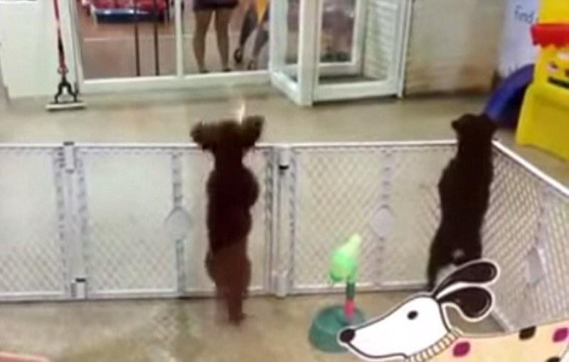 Anjing pudel menari saking semangatnya melihat majikan datang. (Foto: Youtube)