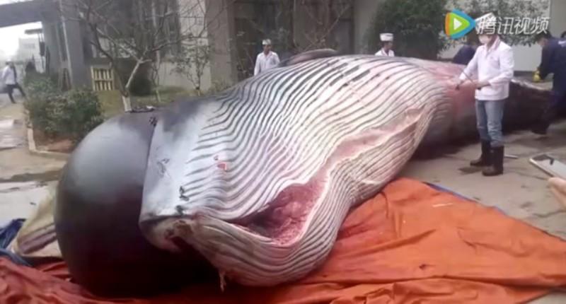 Hiu paus jadi makanan anjing. (Foto: Shanghaiist)