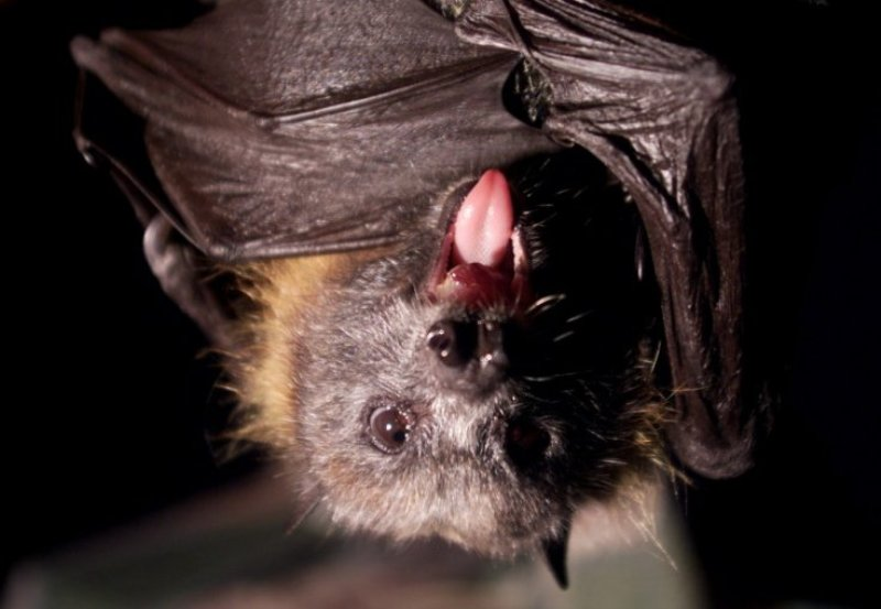 Kelelawar vampir di Brasil dilaporkan mulai mengincar darah manusia sebagai makanannya. (Foto: Reuters)