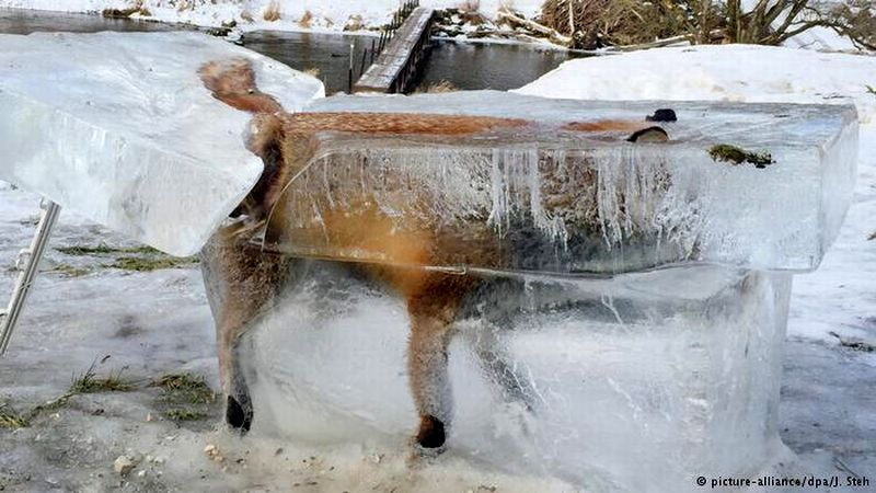Rubah membeku akibat terjatuh ke danau saat musim dingin. (Foto: Picture Alliance/DPA/J Stehle)