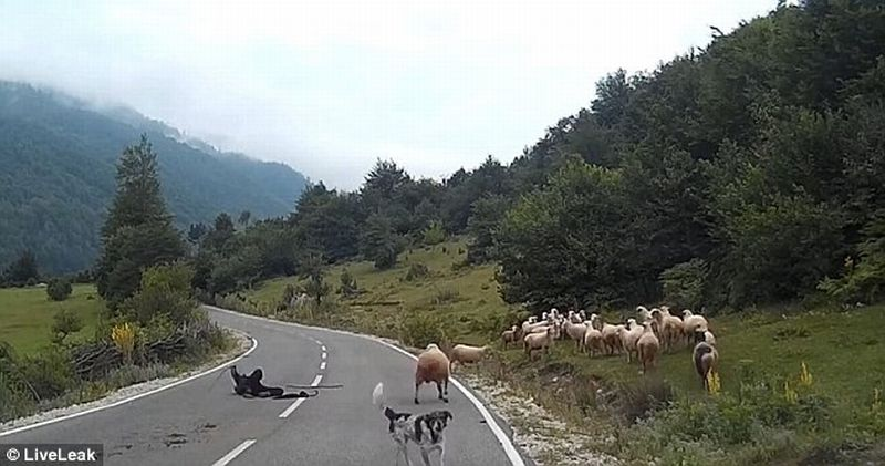 Seorang Penggembala Perempuan Mengalami Nasib Sial Setelah di Seruduk Domba Peliharaannya. (Foto: Live Leak/Daily Mail)