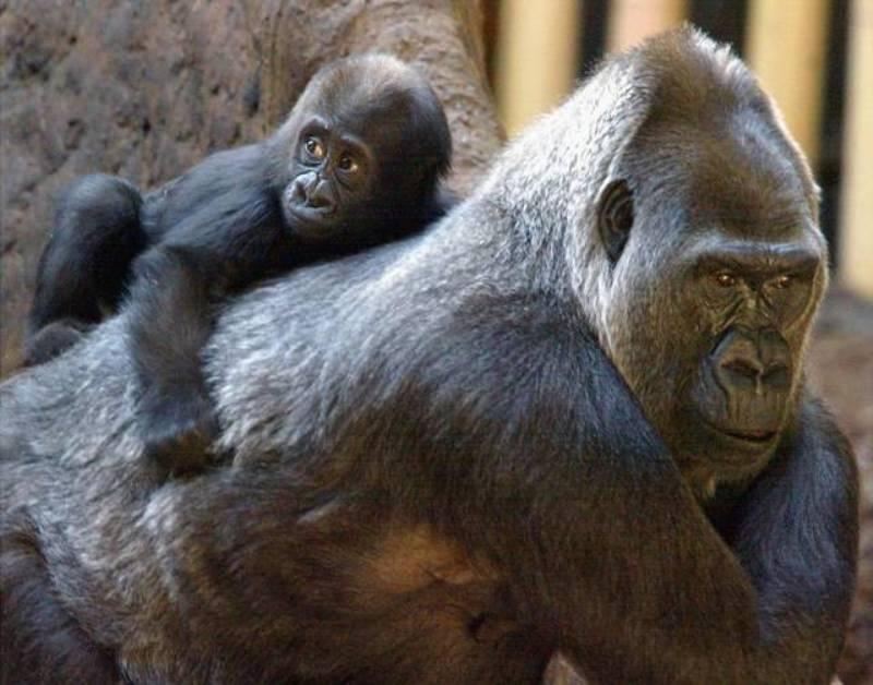 Josephine menggendong Johari bayi pada 2002. (Foto: dok. Miami Zoo)