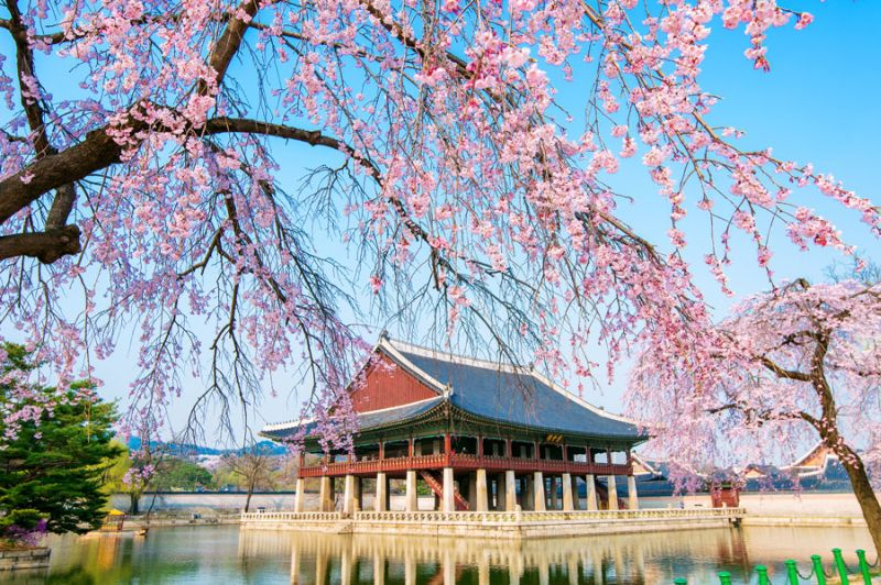 Unduh 5600 Koleksi Gambar Bunga Sakura Di Korea Selatan Terbaik