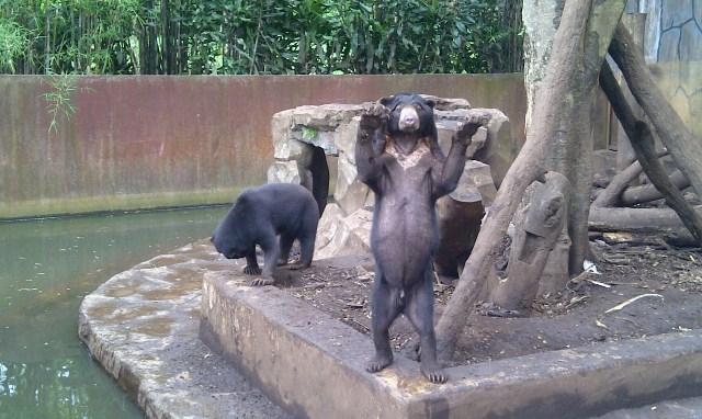 Kardit, Beruang Kurus di KBB (Foto: Oris)