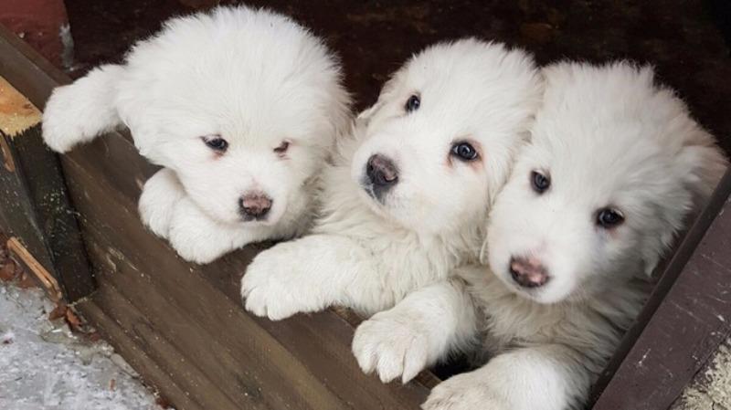 Tiga ekor anak anjing ditemukan selamat di longsoran salju Italia. (Foto: Marisa Basilavecchia/AP)