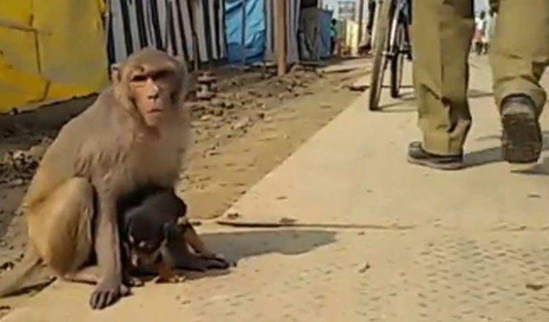 Monyet Liar di India Mengadopsi Seekor Anak Anjing. (Foto: Liveleak)