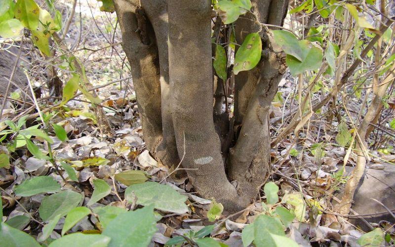Wow, Guru Besar IPB Temukan Kandungan Obat Dalam Ekstrak Pohon