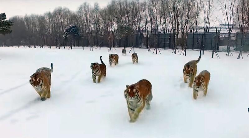 Sekawanan harimau Siberia mengejar drone milik wartawan media China (Foto: Russia Today)