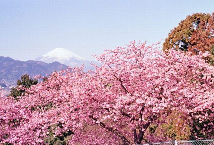 tak perlu ke jepang kecantikan taman sakura bisa dinikmati di bogor rh lifestyle okezone com