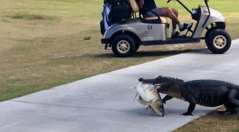 Potongan gambar ketika aligator itu berjalan sambil membawa ikan (Foto: Youtube)