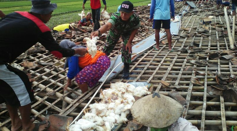 Kandang Ayam Porak-poranda Diterpa Angin Kencang (Foto: Bramantyo/Okezone)