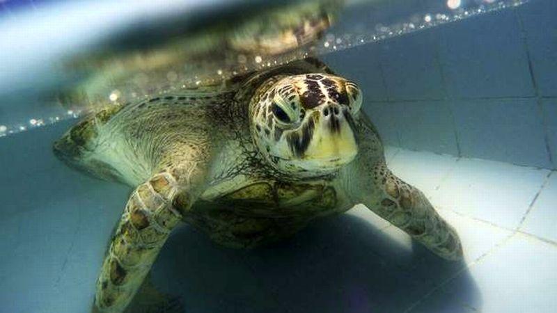 Bank, kura-kura yang menelan hampir 1.000 koin akhirnya mati. (Foto: AP)