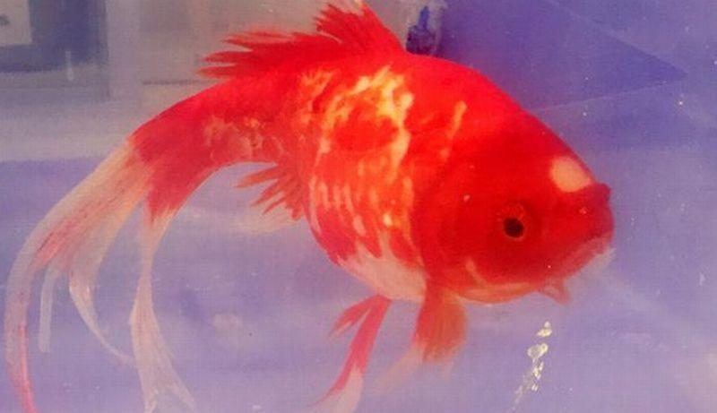 Nasib Baik Si Ikan Mas, Masih Hidup Meski 20 Menit Tanpa Air