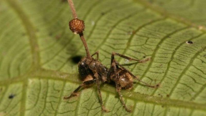 https: img.okezone.com content 2017 04 03 56 1657929 science-corner-berkenalan-dengan-semut-zombi-69grk7Dtjl.jpg