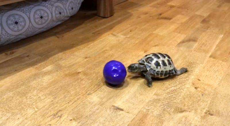 Seekor kura-kura kecil lincah bermain mengejar bola. (Foto: YouTube Paul Milham)