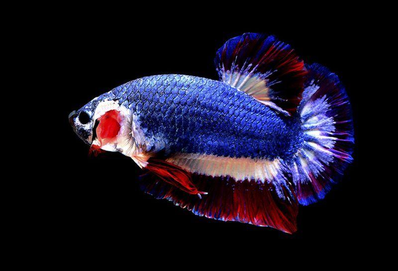 INSPIRASI BISNIS: Raih Rp10 Juta/Bulan dari Budidaya Ikan Hias Cupang