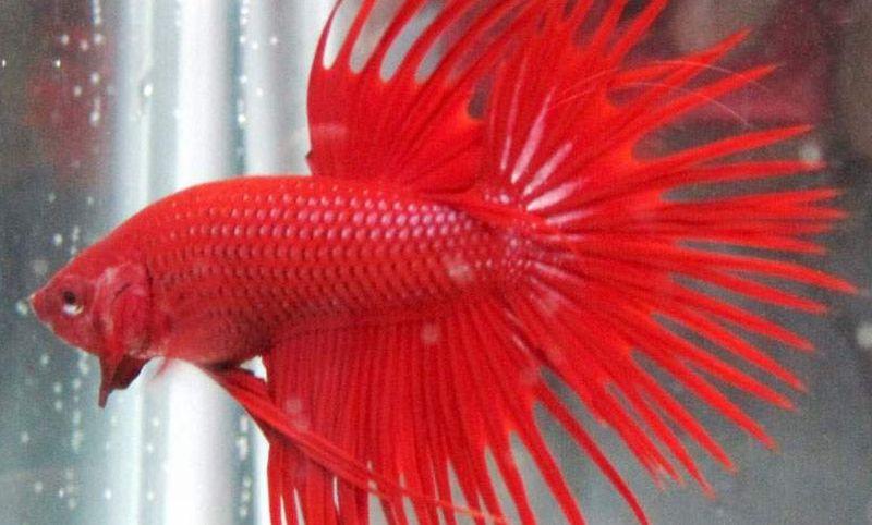 INSPIRASI BISNIS: Saringun Kantongi Rp10 Juta/Bulan Berkat Ternak Ikan Cupang