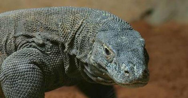 Wow! Darah Komodo Memiliki Kandungan Antibiotik Tinggi
