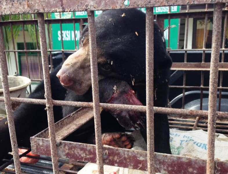https: img.okezone.com content 2017 04 28 340 1678622 kasihan-beruang-madu-ini-terkena-jerat-babi-hingga-terancam-diamputasi-EeR81uXsel.jpg