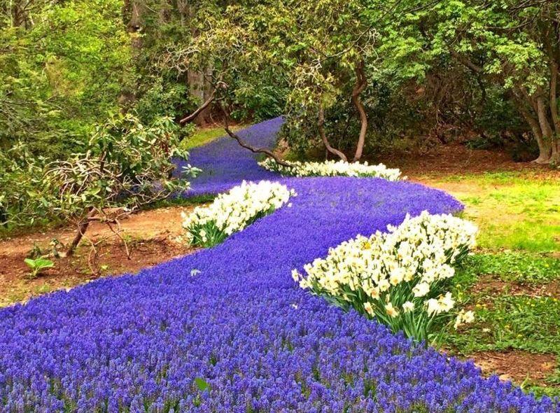 https: img.okezone.com content 2017 04 28 406 1678885 wow-bunga-ungu-bermekaran-bak-aliran-sungai-yang-indah-okl0BZYZLN.jpg