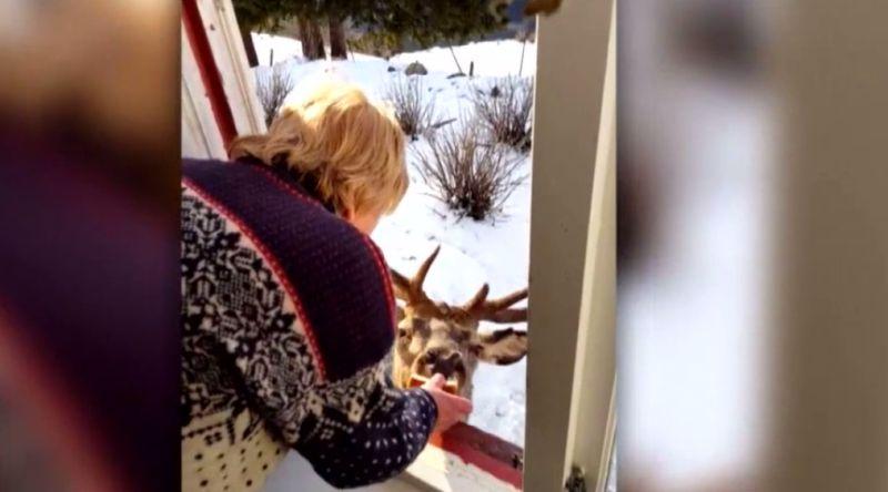 Mette Kvam memberi camilan kepada rusa liar, Flippen. (Foto: Inside Edition/Huffington Post)