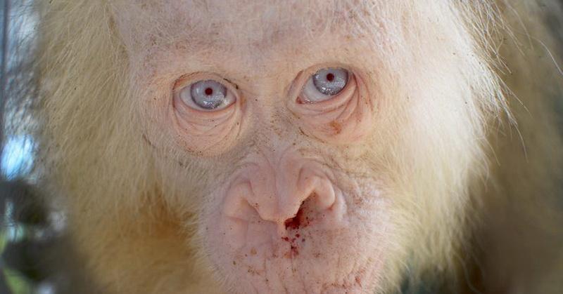 Uniknya Orangutan Albino Langka Bermata Biru
