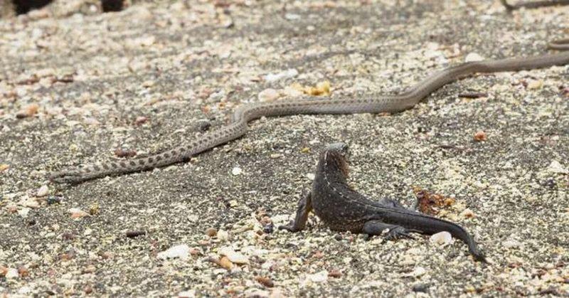 VIDEO: Seram! Belasan Ular Tertangkap Kamera Keroyok Seekor Iguana