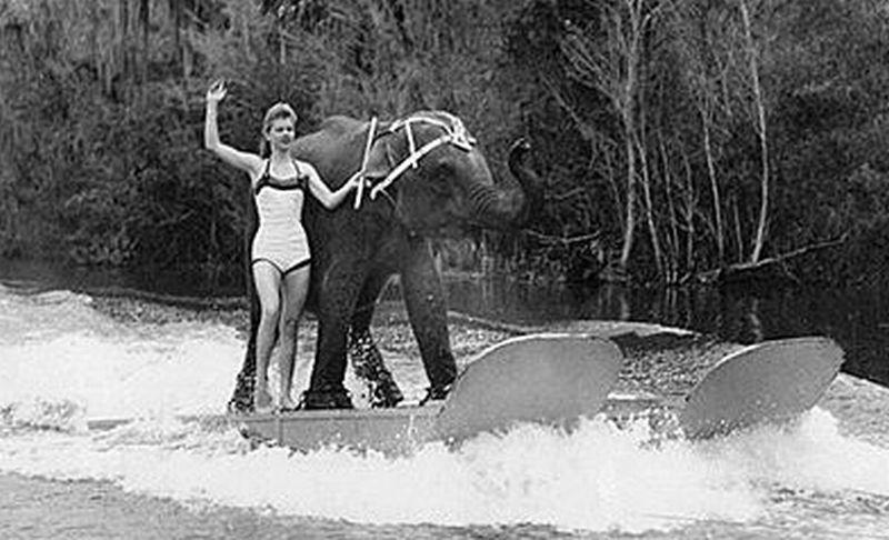 Queenie, satu-satunya gajah di dunia yang mahir bermain ski air. (Foto: Vintage News)
